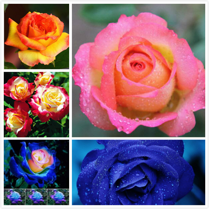 30 Seeds Rose Flower Seeds All Seasons Fresh Flower Seedlings Balcony Indoor Potted Flower Seeds Wholesale Red Rose Seed