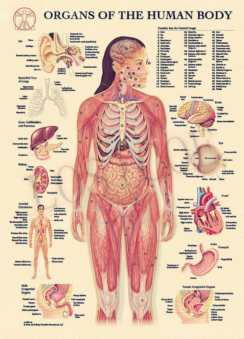 Organs Of The Human Body System Posters Wall Stickers Home Decor Detailed Antique Wall Chart