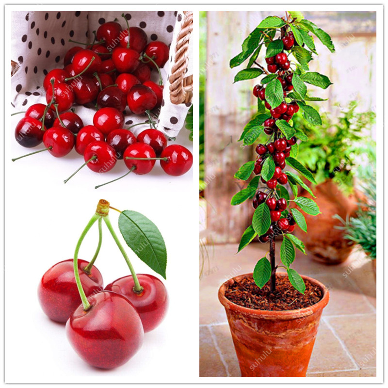 Genuine! 30 Pcs Bonsai Dwarf Cherry Tree Organic Fruit Plantas Bonsai Tree Flores,sweet Food High Germination Rare Home Garden