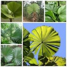 10 шт. свежий ликуала грандис Пальма тропический вечнозеленый Веерообразный бонсай в горшке Тропическое декоративное дерево F semillas