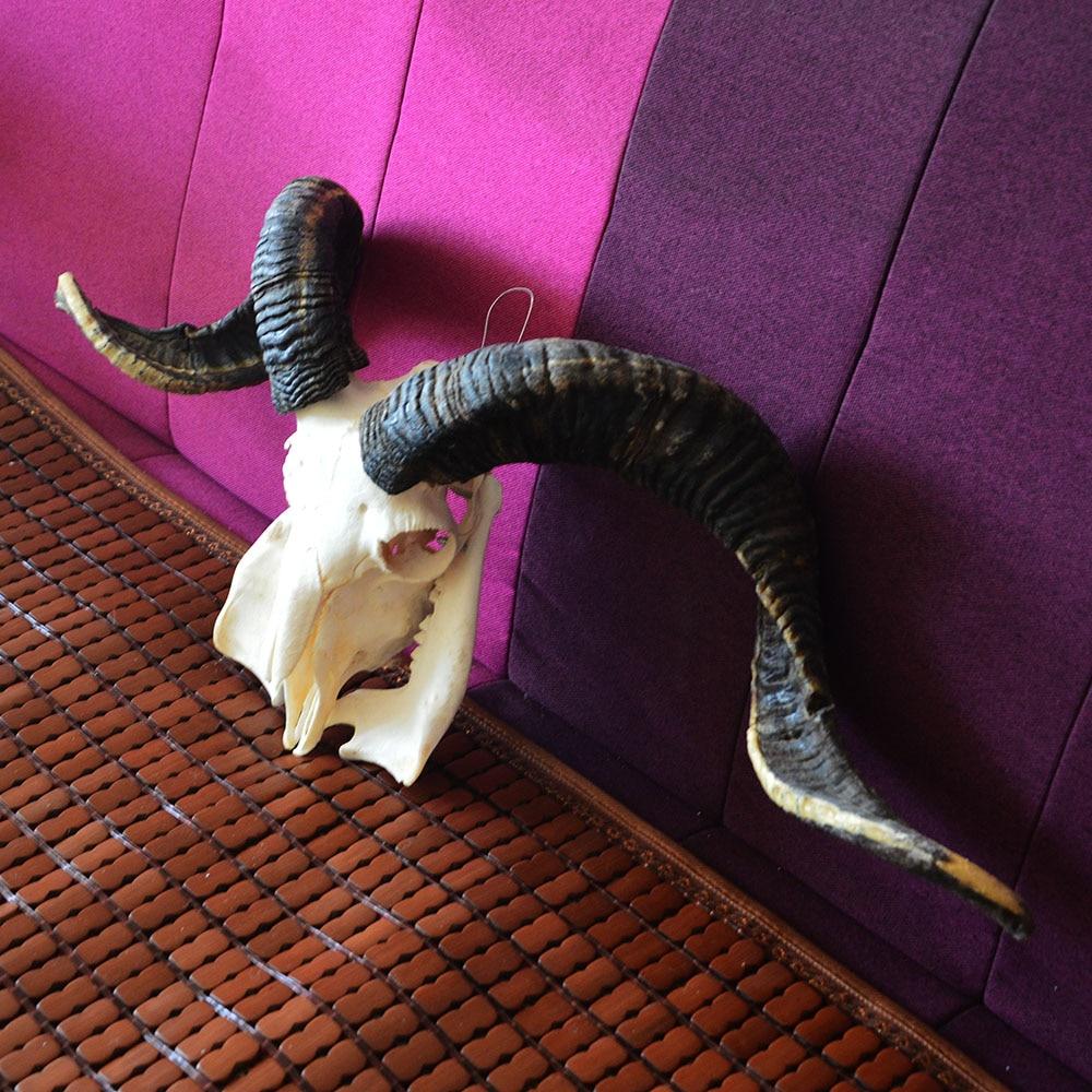 1Pcs Domestic Ram Skull Sheep Skull Animal Skull Long Steer Horns 1:1