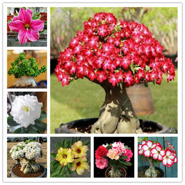 Particelle di 1/lot 100% Vero Desert Rose Bonsai Piante Ornamentali Balcone Bonsai Vaso di Fiori Drawf Adenium Obesum Bonsai
