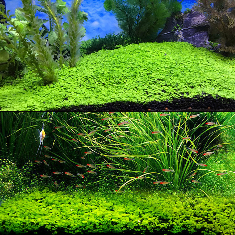 Aquarium Plant Seeds Glossostigma Hemianthus Callitrichoides Easy Growing Aquarium Water Plant Grass Seed Fish Tank Lawn Decor