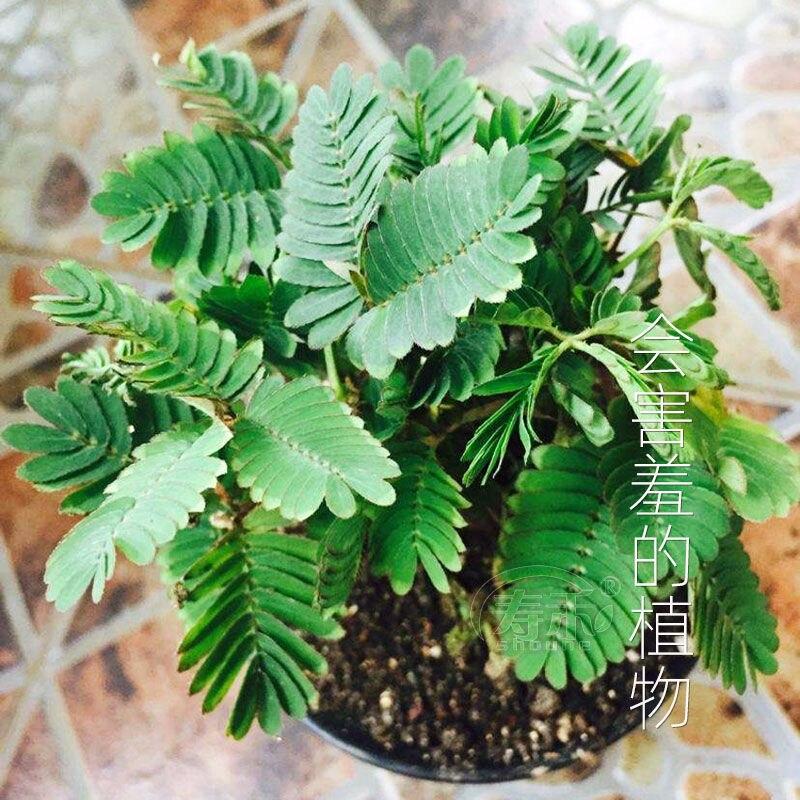 Мимоза семя Застенчивая трава цветок семя балкон горшок цветок семя около 120