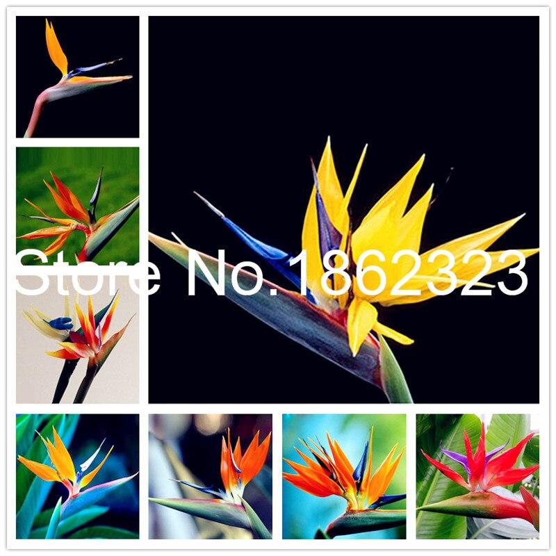 100% Real Strelitzia Reginae Flower Indoor Potted Plant Flowers Bird Of Paradise Bonsai Jardim Sementes-100 Pcs Tropical Bonsai
