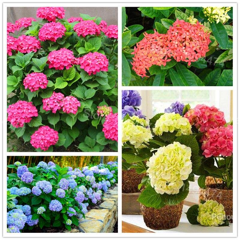 50pcs/bag Hydrangea Flower Plants Mixed Color Bonsai Fort Viburnum Hydrangea Macrophylla Bonsai Plant Plantas For Home Garden