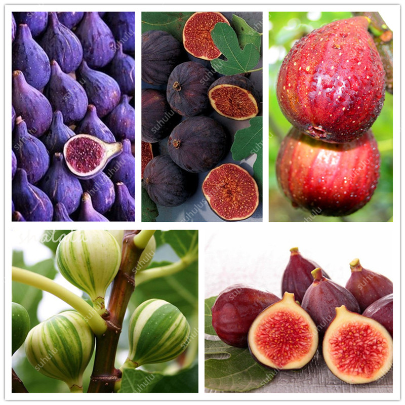 100 Pcs Figs Bonsai, Edible Fruit Bonsai Tree Plants, Tropical Ornamental Tree, Bonsai Pot Plants For Home Garden