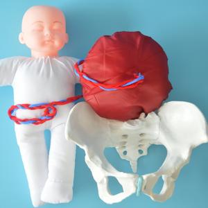 Anatomy-Model Pelvis Fetus Umbilical-Cord Demonstration Teaching Human-Delivery