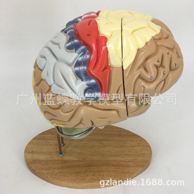 Image 3 - 2 倍の倍率 4 部分人間の脳デジタルインジケータロゴ脳の神経解剖モデル医療用品    -