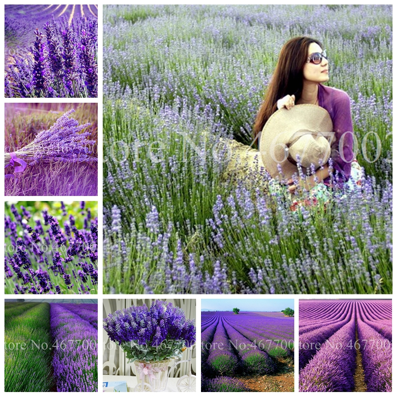 100 Pcs Italian Lavender Flower Heirloom Charming Fragrant Flore Potted Plante Fast Growing Outdoor,Beauty Your Garden Planten