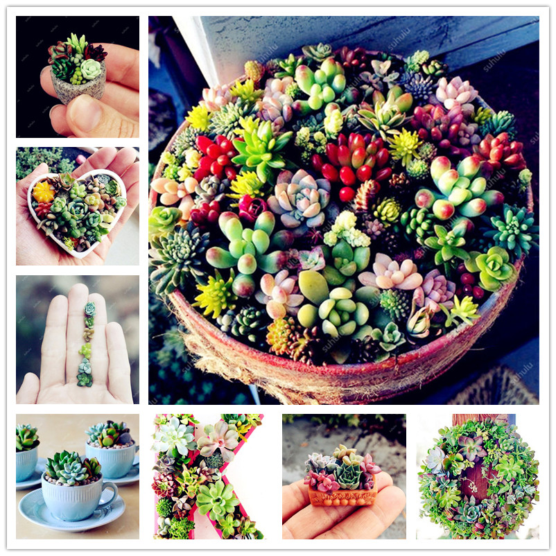 500 Pcs Amazing Mini Succulent Plants Mixed Garden Succulents Cactus Plantas Perennial Indoor Plants Radiation Protection Bonsai