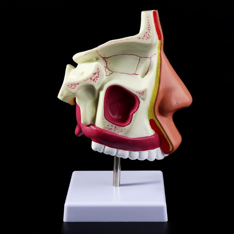 Human Nasal Cavity Anatomy Model Medical Nose Cavity Structure For Science Classroom Study Display Teaching