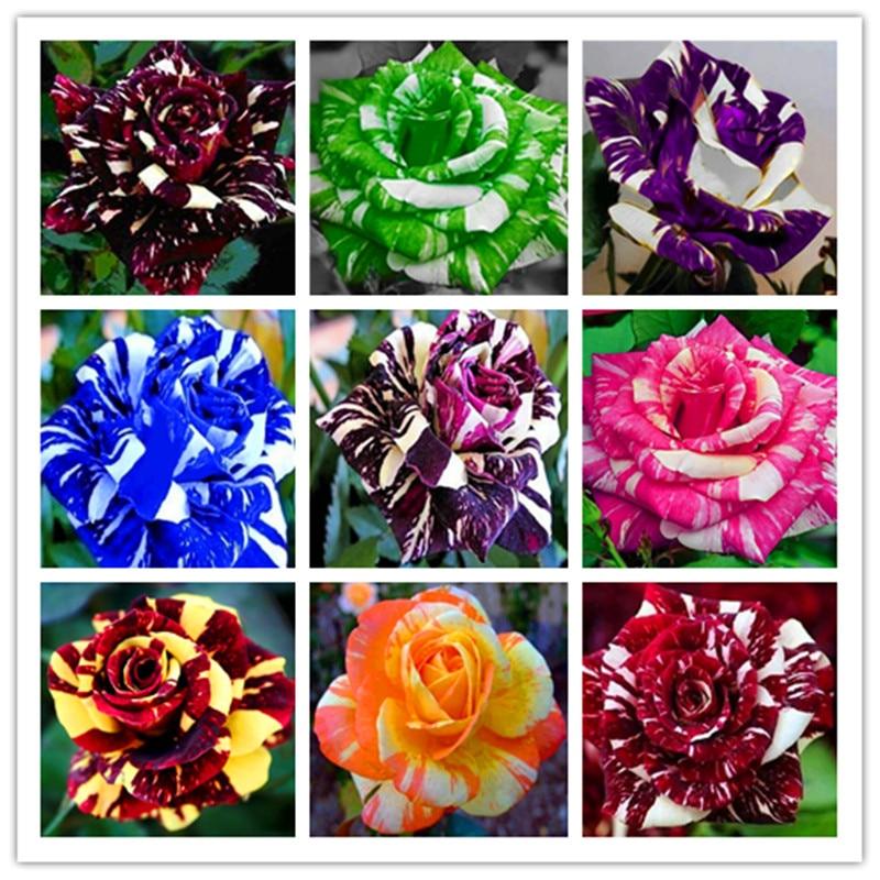 100 Pcs/bag Rose Tiger Striped Rose Rare Bonsai Flower Plants Rainbow Green Blue Black Rose Petals Plant For Home Garden