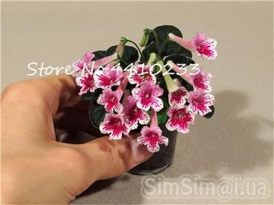 100-stks-Mini-Bonsai-Violet-Zeldzame-Afrikaanse-Bloem-Voor-Tuin-Voor-Bekijken-Avond-Geurende-Voorraad-Violet.jpg_640x640 (2)