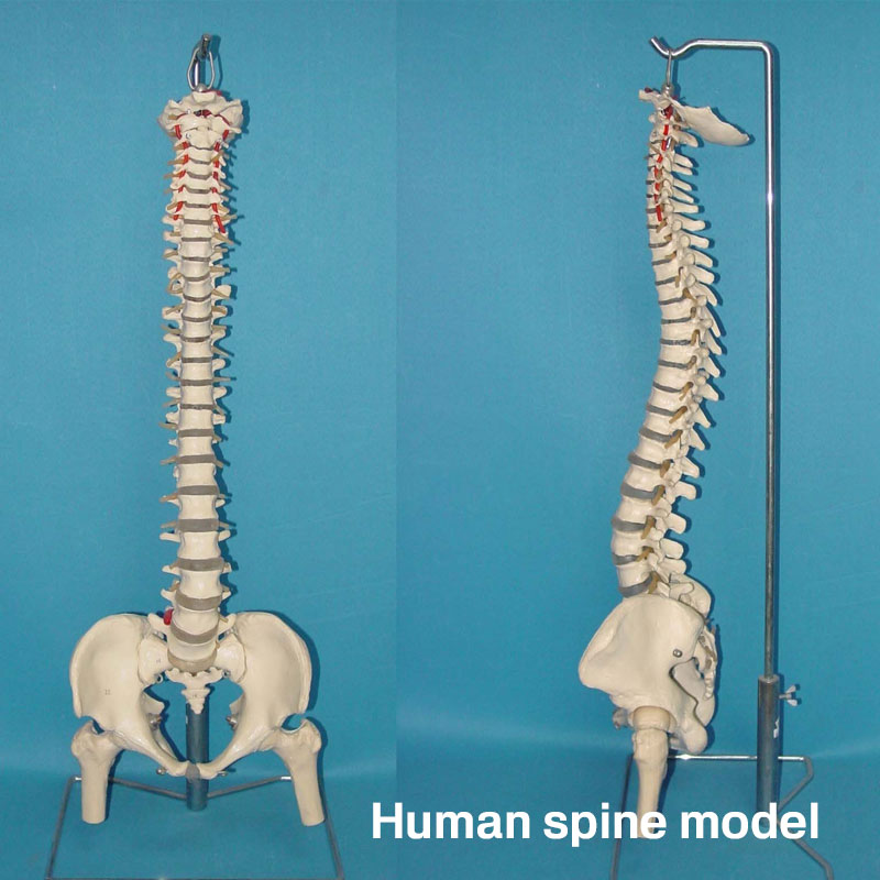 45CM Vertebral Column Model PVC Student School Doctor Educational Bone Teaching Aid Pathology Education Medical