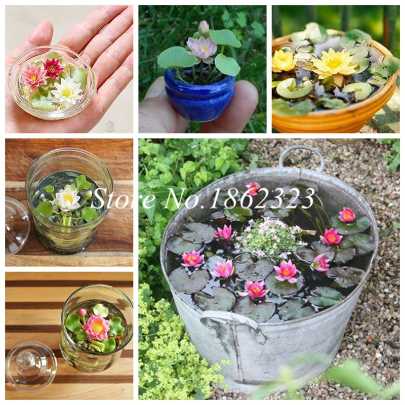 10 Pcs High Quality 100% Original Mix Bowl Lotus Bonsai Flower Aquarium Plant, Mini Water Lily Bonsai Plant Flowers Four Seasons