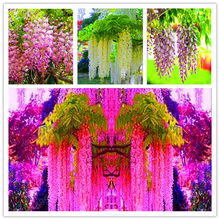 100 Pcs Wisteria(China)