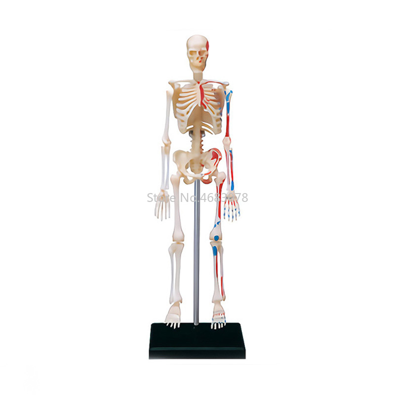 4D Human skeleton model Teaching Aid Puzzle Assembling Toy School Laboratory Medical Teaching Education Equipment