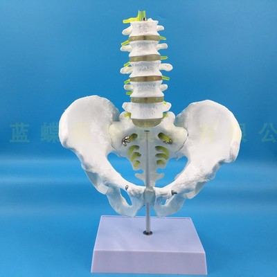 Natural male pelvis with two/five lumbar vertebrae model skeleton model pelvic model lumbar vertebrae femur