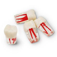 2pcs Dental  Training  Product Dental Root Canal Teeth For Students Practice Model Study Teach Demonstration Tools