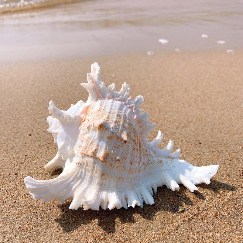 Thousand Hand Snail Chrysanthemum Snail Natural Conch Shell Aquarium Decoration Aquarium Case Landscape Mediterranean Sty