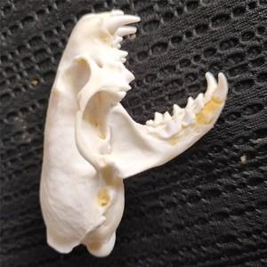 Image 2 - 5 個リアルミンク頭蓋骨、繊獣標本、頭蓋骨ギフト頭蓋骨