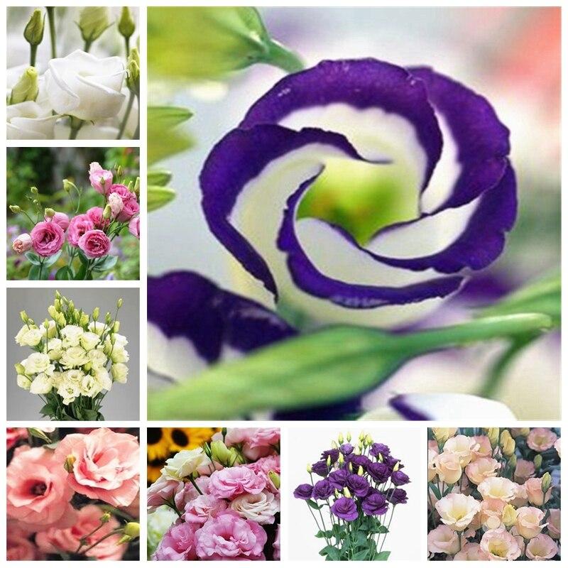 200 Pcs Wedding Decor Eustoma Lisianthus Bonsai Platycodon Grandiflorum Herb Flores Para Jardim Jardinagem Em Casa Bonsai Planta