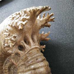 14,26 kg! NATÜRLICHE RIESIGE MANTELLICERAS AMMONITEN FOSSILCONCH Afrika