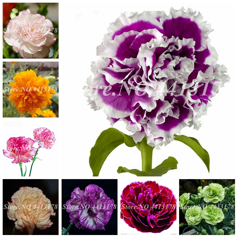 200 Pcs Hot Selling 24 Colors Carnation Plant Perennial Flowers Potted Garden Dianthus Caryophyllus Flower Planting Easy Grow