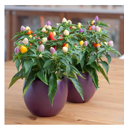 Colorful Pepper Seeds Super Spicy Millet Pepper Balcony Indoor Potted Semillas De Plantas