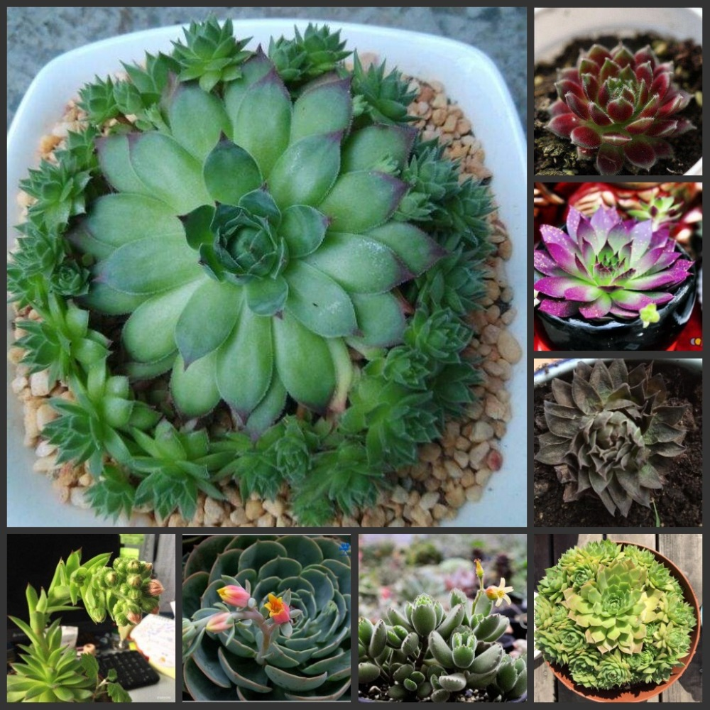 100PCS Sempervivum Tectorum Succulent Flower S