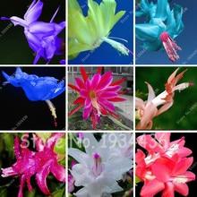 100 шт. цветы кактуса комнатные растения в горшках очищающий воздушный цветок, цигокактус Truncatus Schlumbergera бонсай, эпифиллум