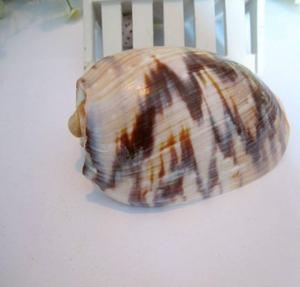 natural conch shells 10-12CM concha mar coral decoration fishing net decorative fish aquarium table