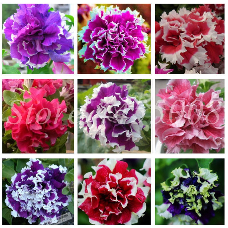 300 Pcs/ Bag Bonsai Hanging Petals Petunia Flower Mixed Color Morning Glory Potted Perennial Flore Planta DIY Home Garden Plants