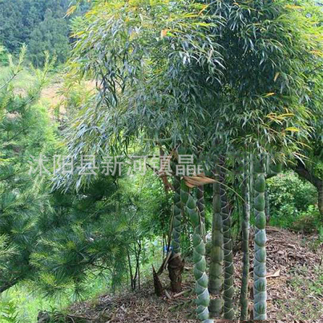 Plant Flowers Bath Salts Turtle bamboo Essence 100Pcs XZZ-176 4