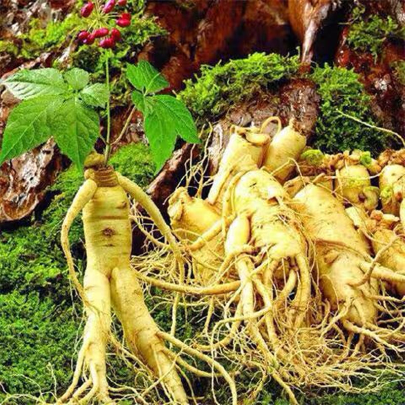 2020 Hot Sale 100-1000 Pieces Ginseng Seed Changbai Mountain Ginseng, Red Ginseng And Korean Ginseng Seeds  99% Survival Rate