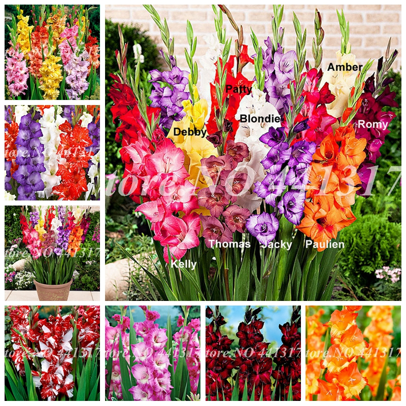 100 Pcs Striped Gladiolus Bonsai Perennial Sword Lily Garden Plant Flower Orchid Gladiolus Bonsai Gandavensis High Survival Rate
