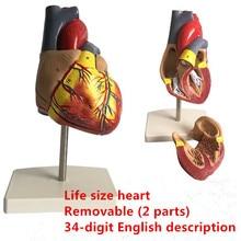 Anatomia anatômica do coração humano modelo médico vísceras emulacional modelos de órgão ensino ciência brinquedo aids