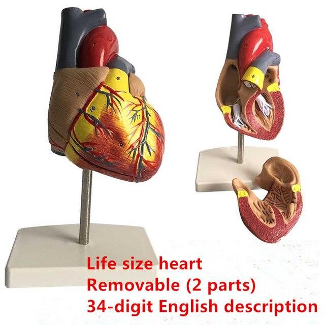 Cuore umano Anatomia anatomico modello medico Visceri Emulational Organo Modelli di Insegnamento scienza aiuti giocattolo