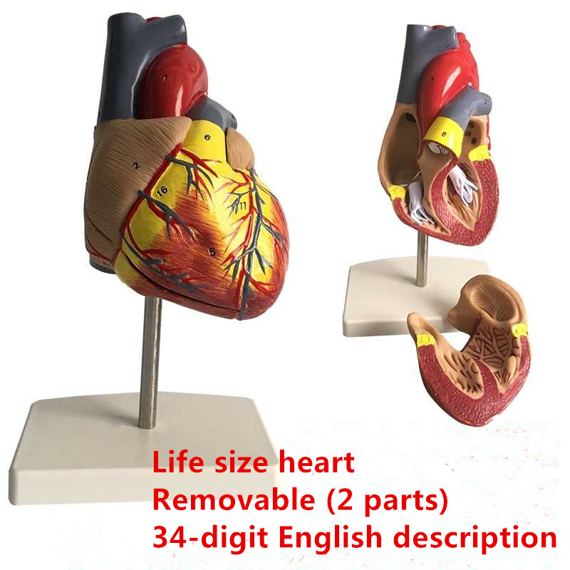 Removable Human Heart Anatomical Anatomy Model Human Heart Organs Toy Medical Science Aids Teaching Resources