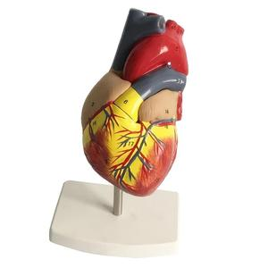 Image 5 - Human Cardiac Heart Anatomical model human  Viscera organs models  Medical Science supplies Teaching tools