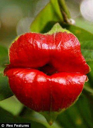 100 Lips Flower  Rare Flower For Flower Pots Planters Blooming Plants Plants Sementes De Flores