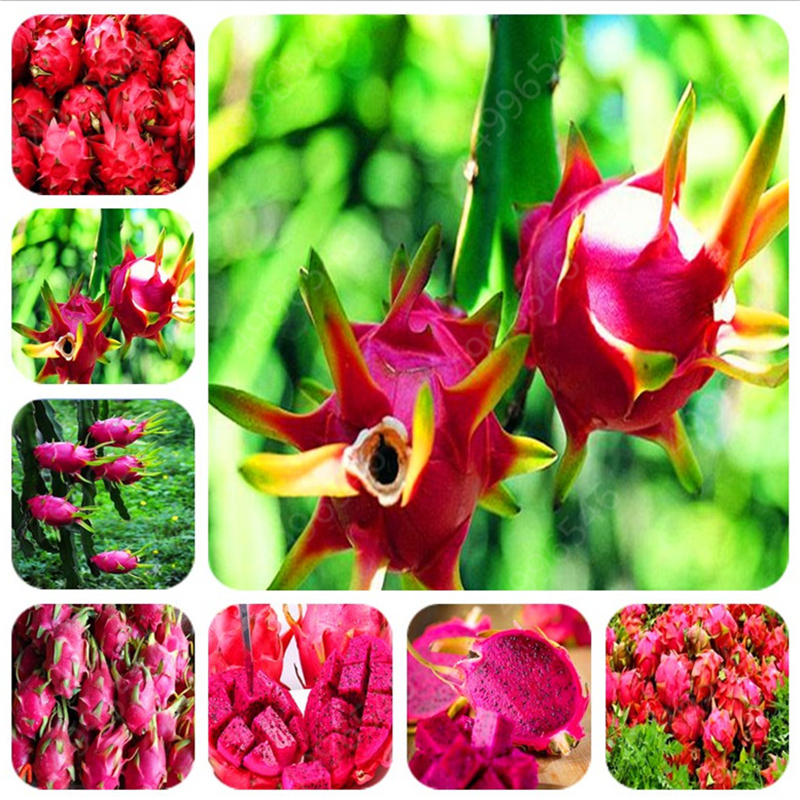 100pcs Dragon Fruit