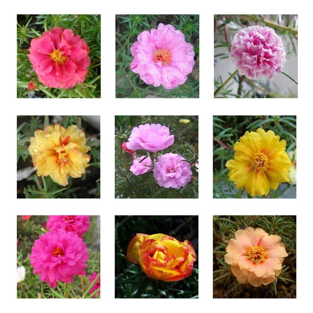 100 Pcs/Bag Mixed Color Flower Ornamental Portulaca Grandiflora Flowers  Bonsai For Home Garden Balcony Planting