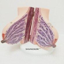 Menselijke Vrouwelijke Zogende Borsten Anatomie Anatomisch Model Schoonheid Training Leermiddelen Medische Gift