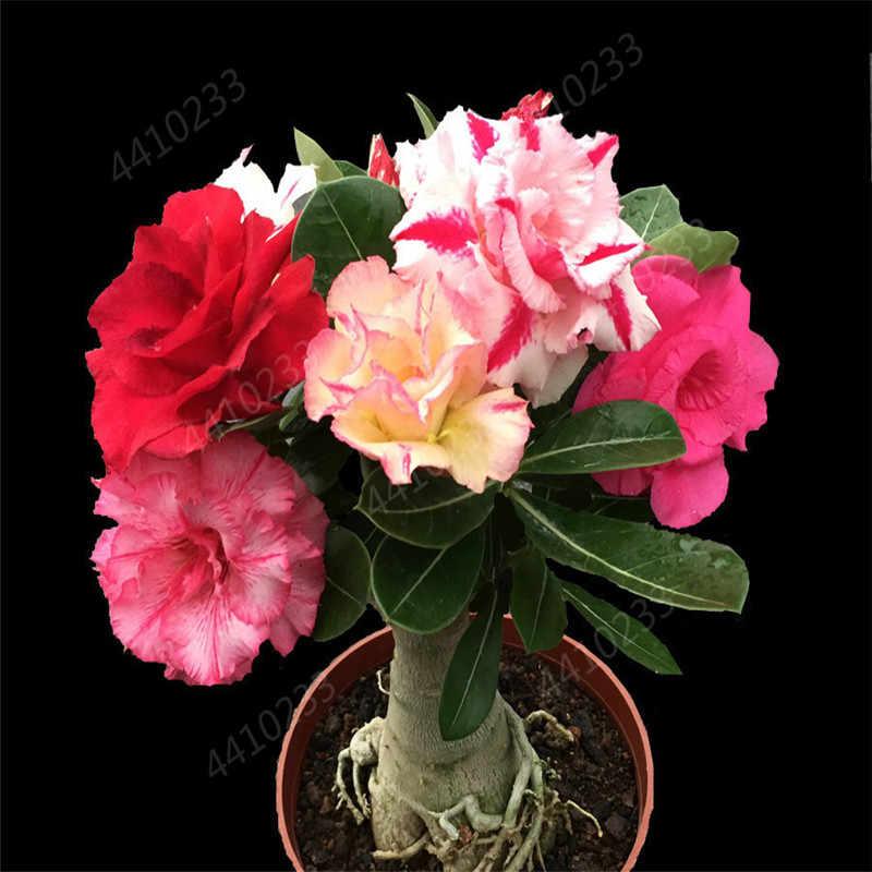 100% صحيح العدينة Obesum بونساي غريبة الصحراء روز الزهور شرفة الصحراء-ارتفع بونساي متعدد الألوان بتلات العصارة شجرة 1 قطعة