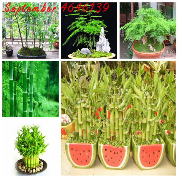 50PCS Asparagus Fern, Mini  Bamboo Asparagus Setaceus, Lucky Bamboo Choose Potted Bonsai Variety Complete Giant Moso Bamboo