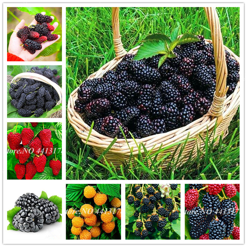 200 Pcs Mulberry Bonsai Sweet Black Berry Giant Plants Miracle Fruit Plant Tohum Rare Tree Bonsai Garden Bush DIY Home Garden