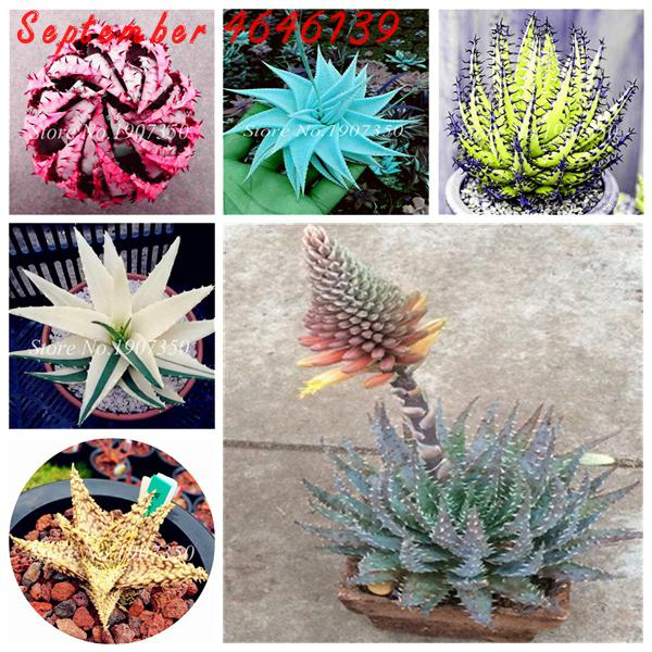 Hot Sale100Pcs Rare Color Aloe Bonsai Succulent Plants Mini Garden Planting, Edible Beauty Fruit Vegeable Pot PlantFree Shipping