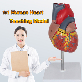 Human Heart Anatomical Teaching Model Viscera Medical Organ Anatomy Model 1:1 Emulational Medical Science Teaching Resources 12471 cmam anatomy33 human male reproductive system anatomical model for medical science